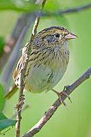 Le Conte's Sparrow perched on a branch