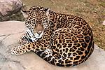 jaguar curled up on large boulder looking slightly down