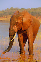 African elephant (Loxodonta africana) bull taking mud bath in Lake Kariba, Zimbabwe.