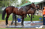 LOUISVILLE, KY - APRIL 20: Chad Brown trainees Shagaf (front) and My Man Sam are bathed after exercising at Churchill Downs, Louisville KY. (Photo by Mary M. Meek/Eclipse Sportswire/Getty Images)