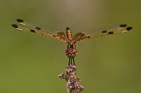 Calico Pennant (Celithemis elisa) Dragonfly - Juvenile Male, Swift River Reservation, Petersham, Worcester County, Massachusetts