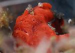 Red Frogfish , Antennarius oscellatus, Underwater macro marine life images; Photographed in Tulamben; Liberty Resort; Indonesia.Underwater Macro Photographer on FB 2nd Annual event
