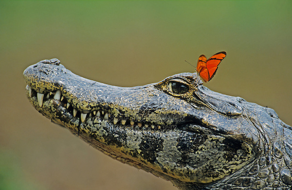 Spectacled Caiman (Caiman crocodilus), adult with Julia Butterfly (Dryas iulia), Pantanal, Brazil, South America