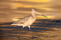 Marbled Godwit (Limosa fedoa) searching for food at the seashore with sunset reflection on the surf