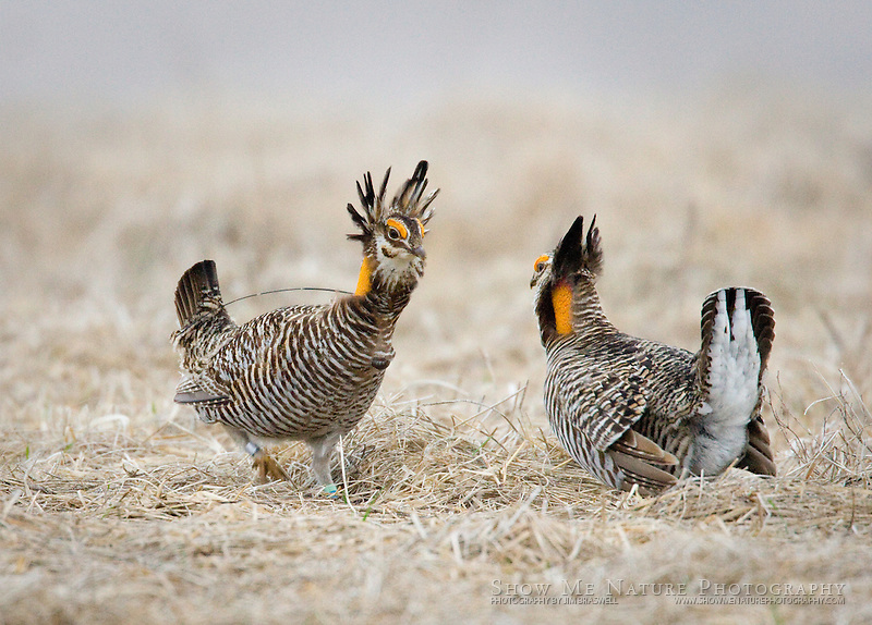 Greater Prairie Chicken Standoff, Missouri