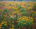 Matthiessen State Park, IL<br /> Black-eyed Susans and purple praire clover in a field of native prairie grasses