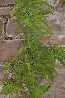 Brauner Streifenfarn, Braunstieliger Streifenfarn in den Ritzen eines alten Gemäuers, Mauer, Asplenium trichomanes, Maidenhair Spleenwort, Fausse-Capillaire