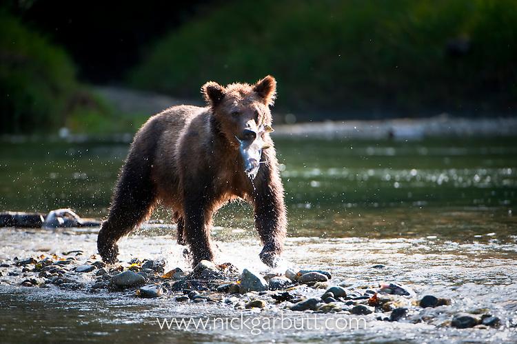 Grizzly Bear (Ursus arctos horribilis) with Pink Salmon (Oncorhynchus gorbuscha), Atnarko River, Tweedsmuir Park, British Columbia, Canada