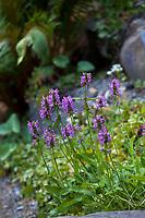 Stachys officinalis 'Nana' Dwarf Betony flowering in Elisabeth Miller Botanical Garden