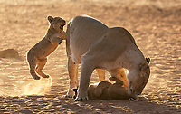 We had plenty of lion sightings in Kruger, MalaMala, and at Tswalu, including perhaps my best shoots with lion cubs to date.<br /> <br /> Photo © Jennifer Waugh