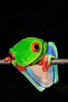 Red-eyed Tree Frog Agalychnis callidryas, Selva Verde Nature Reserve, Rio Sarapiqui region, Heredia, Costa Rica