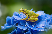 Pacific tree frog (Pseudacris regilla), also known as the Pacific chorus frog on backyard Hydrangea blossoms.  Pacific Northwest