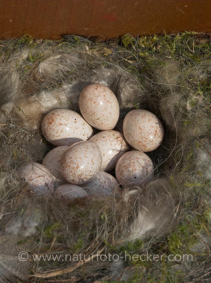 Blaumeise, Eier im Nest, Nistkasten, Blau-Meise, Meise, Cyanistes caeruleus, Parus caeruleus, Blue Tit, Mésange bleue