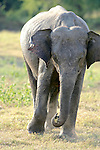 Asian Elephant, Minneriya National Park