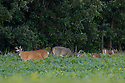00274-305.01 White-tailed Deer Buck (DIGITAL) with large antlers in velvet and smaller bucks and does are in soybean plot. Late summer.  H3E1