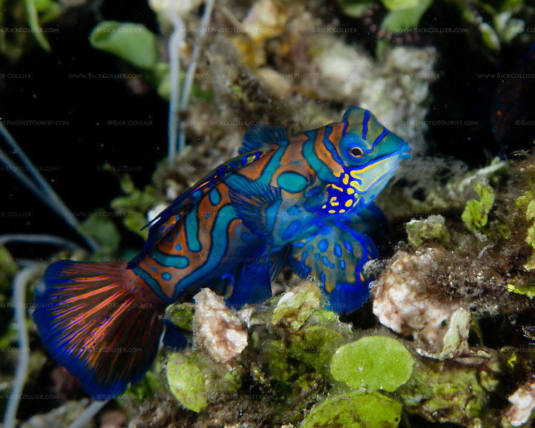 A female mandarinfish explores the top of the rubble bottom in the Lembeh Strait (North Sulawesi, Indonesia).  Every day at dusk, male and female mandarinfish (mandarin dragonet) come to the top layer of the rubble bottom, hoping to pair up for their nightly mating dance.