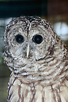 Barred Owl, medium shot vertical