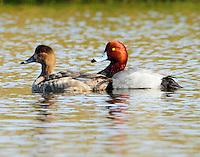 Pair of redheads