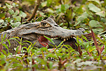A caiman lays in a marshy area of a river after catching a fish in the Pantanal, Mato Grosso, Brazil.
