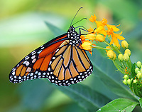 Male monarch on butterfly weed in September