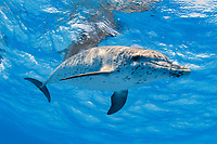 Atlantic spotted dolphin, Stenella frontalis, Little Bahama Bank, Bahamas, Caribbean Sea, Atlantic Ocean