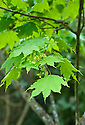 New foliage and flowers of Acer mono subsp. okamotoanum, early April.