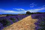 Lavender field in bloom near Sequim, Washington, USA Olympic Peninsula