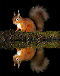 Pictured:  A red squirrel reflected in the pool.<br /> <br /> Animals reflect perfectly off water in the British countryside as they enjoy a late-night drink.  A red squirrel, a badger, and a rare albino hedgehog produced mirror images when they sipped the water in darkness.<br /> <br /> HR worker Dan Knight, patiently waited in a hide from 5.30pm to 3am to capture the photographs taken at a shallow reflection pool in Dumfries and Galloway, Scotland.  SEE OUR COPY FOR DETAILS.<br /> <br /> Please byline: Dan Knight/Solent News<br /> <br /> © Dan Knight/Solent News & Photo Agency<br /> UK +44 (0) 2380 458800