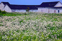 Low white buildings, field of white flowers Nova Scotia; Canada