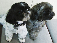 Jaz Pants and Lumpkin - Shih Tzu pups pay attention.