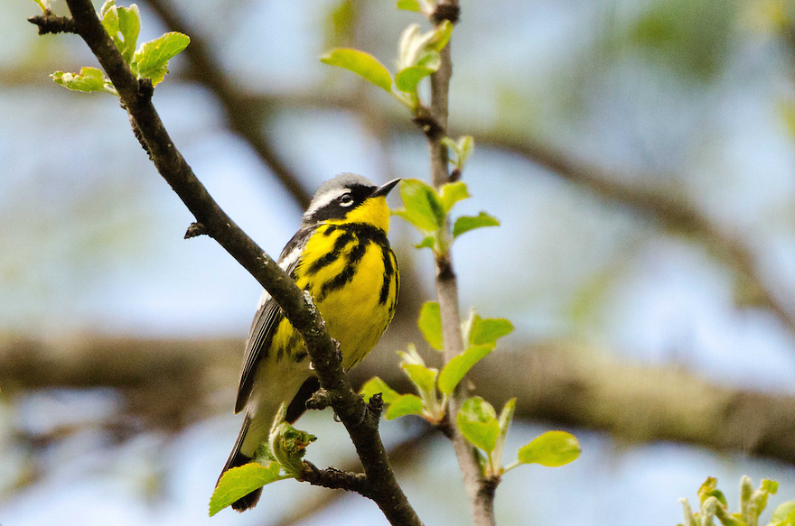 A beautiful Magnolia Warbler perched in an apple tree in spring.