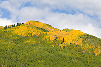 Aspens near the Dyke, Kebler Pass Road.  This image shows the progress of autumn on September 27, 2011 - vibrant, healthy trees, but still a lot of green.<br /> <br /> Canon EOS 5D Mk II, 70-200 f/2.8L lens with 1.4x teleconverter