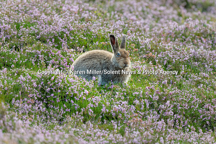 """SEE MAIN IMAGE<br /> <br /> Pictured:  You can't see me....a mountain hare appears to make an unsuccessful attempt at hiding from a watching photographer.<br /> <br /> The amusing episode was captured by photographer Karen Miller in the Scottish Highlands.<br /> <br /> Karen said, """"I was lucky to spot her and after a while while she started grooming herself.  They often do things that look great in images and I had no idea what I'd captured at the time.""""<br /> <br /> Please byline:  Karen Miller/Solent News<br /> <br /> © Karen Miller/Solent News & Photo Agency<br /> UK +44 (0) 2380 458800"""