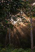 Aldeia Baú, Amazon,Para State, Brazil. Dawn light beams penetrate the forest.