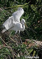 0311-0803  Great Egret Collecting Sticks for Nest, Displaying Breeding Plumage, Ardea alba © David Kuhn/Dwight Kuhn Photography