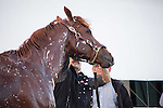 HALLANDALE BEACH, FL - JANUARY 14:   <br /> California Chrome gets a bath with assistant trainer Alan Sherman and groom Raul Rodriguez after breezing 5 furlong at Gulfstream Park. (Photo by Arron Haggart/Eclipse Sportswire/Getty Images