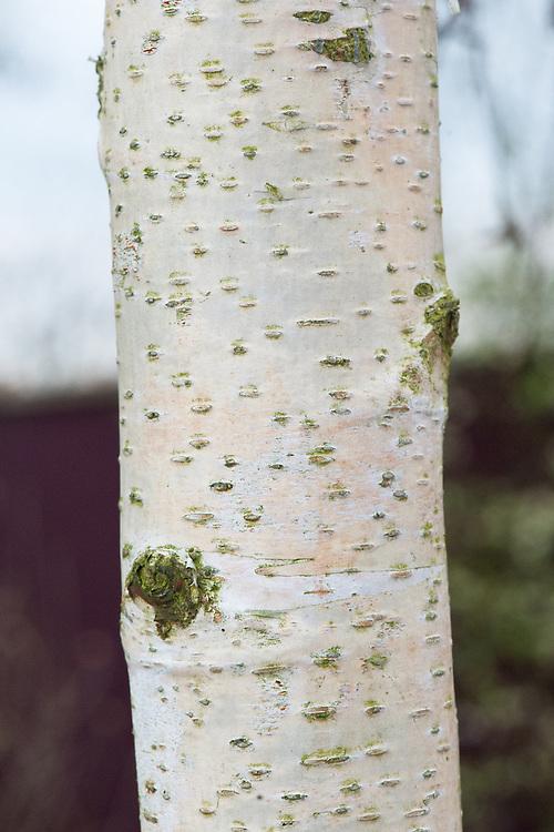 Trunk and bark of Silver birch (Betula pendula), late March.