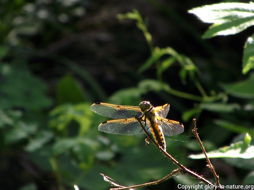 Dragonfly basking in the sunlight at Cold Lake Provincial Park.
