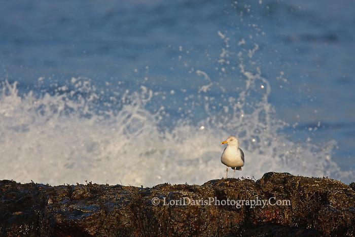 Gull on Rocks & Crashing Waves  #B28