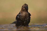 Brown-headed Cowbird, Molothrus ater, male bathing, Uvalde County, Hill Country, Texas, USA, April 2006