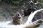Pictured:   Two huge grizzly bears launch into a ferocious battle as they fight for the right to fish salmon.<br /> <br /> The 50 stone males bare their teeth and grapple with each other in the water as they brawl over territory.<br /> <br /> The images of fight were captured on the Tahumming River in Canada's British Colombia by retired firefighter and amateur wildlife photographer Wayne Duke.   SEE OUR COPY FOR DETAILS.<br /> <br /> <br /> Please byline:  Wayne Duke/Solent News<br /> <br /> © Wayne Duke/Solent News & Photo Agency<br /> UK +44 (0) 2380 458800