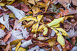 Fallen leaves at the Arnold Arboretum in the Jamaica Plain neighborhood, Boston, Massachusetts, USA