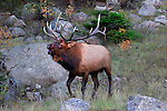 Elk bugling during the autumn rut in Rocky Mountain National Park, Colorado.