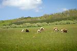 Steam Valley Fiber Farm. Sheep grazing in field