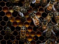 Bees on cells full of bee bread (a mix of pollen, honey and secretions). The raw pollen is fermented by the bees in the hive's cells. The nutritional value and antibiotic properties of the bee bread is believed to be three times higher than that of pollen. It has bactericide, bacteriostatic and germicide properties. All of that, in addition to its low pH, prevents the development of certain germs. Bee bread becomes self-storing.<br /> Des abeilles sur des cellules remplit de pain de pollen. C'est du pollen cru est fermenté par les abeilles, dans les cellules de la ruche. Sa valeur nutritionnelle et ses propriétés antibiotiques du pain d'abeilles seraient trois fois supérieures à celle du pollen. Il possède des propriétés bactéricides, bactériostatiques et germicides. Tout ceci ajouteŕ à̀ son pH réduit, empêche le développement de certains germes. Le pain d'abeilles en devient auto-conservable.