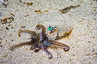 southern dumpling squid, or southern bobtail squid, Euprymna tasmanica, endemic, Port Phillip Bay, Melbourne, Victoria, Australia, Southern Ocean