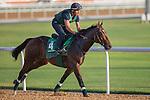 MEYDAN,DUBAI-MARCH 24: Dariyan,trained by Alain de Royer Dupre,exercises in preparation for the Dubai Sheema Classic at Meydan Racecourse on March 24,2016 in Meydan,Dubai (Photo by Kaz Ishida)