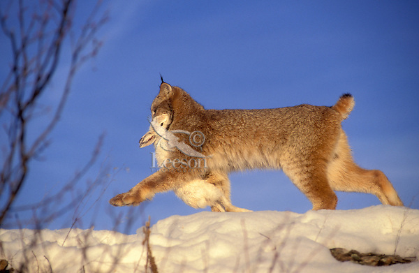 LYNX with snowshoe hare, the cat's main food source..Winter. Rocky Mountains..(Felis lynx canadensis).