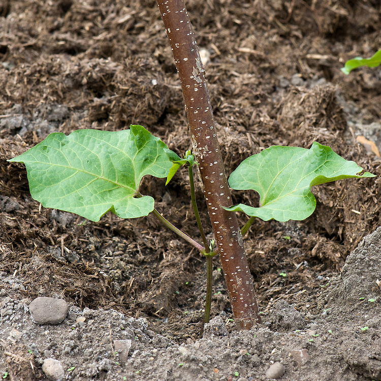 Young runner bean seedlings in mid June, about 3 weeks after sowing.
