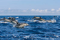 long-beaked common dolphins, Delphinus capensis (formerly lumped with short-beaked common dolphin, Delphinus delphis), porpoising out of the water at high speed, off San Diego, California, USA, (Eastern Pacific Ocean)